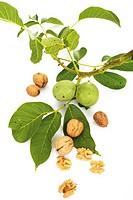 Fresh walnuts on twig and walnuts