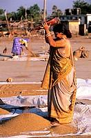 India, Union Territory of Daman and Diu, Diu city, corn harvest in Vanakbara village
