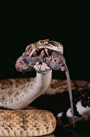 Western Diamondback Rattlesnake Eating a Mouse