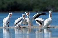 American, White, Pelicans, Sanibel, Island, Florida, USA,, Pelecanus, erythrorhynchos