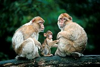 Barbary, Monkey, pair, with, young,, Macaca, sylvana,, macaques, side