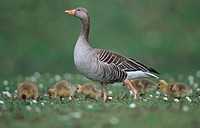 Graylag, Goose, with, goslings,, Lower, Saxony,, Germany,, Anser, anser