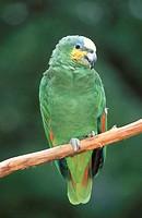 Orange-winged, Amazon,,, Amazona, amazonica