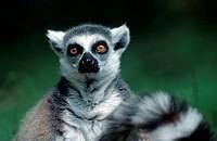Ring-tailed, Lemur,, Lemur, catta