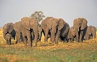 African Elephant Loxodonta africana Chobe Nationalpark Botswana Africa