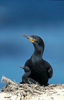 Cape Cormorant Phalacrocorax capensis Lambert`s Bay South Africa Africa