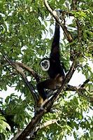 White Handed Gibbon Hylobates lar Asia