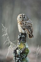 Tawny owl  (Strix aluco)  adult perched in winter. Scotland. February 2006. (captive-bred)