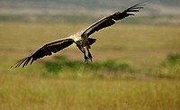 Flying vulture above the Serengeti plains of Masai Mara Game Reserve Park, Kenya