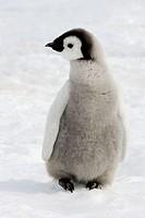 Emperor Penguins (Aptenodytes forsteri). Snow Hill Island. Antarctica