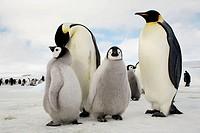 Emperor Penguin (Aptenodytes forsteri). Snow Hill Island. Antartic Peninsula