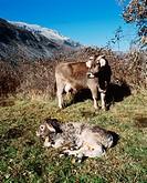 Cow with new born calf. Huesca province. Benasque Valley. Pyrenees Mountains. Spain