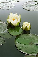 Waterlily-pond, waterlilies, Nymphaea alba, blooms, series, knows sea, pond vegetation plants water-plants pond-plants, waterlily-plants, Nymphaeaceae...