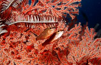 Indian ocean, underwater-reception, coral-reef, cardinal-fish, Apogon notatus, underwater-world, reef, corals, animals, sea-bulls, fish, cardinal-perc...