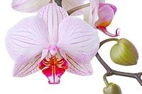 Orchid, Phalaenopsis spec , Detail, blooms, buds, boy-herb-plant, Orchidaceae, orchid-bloom, petals, knows, prime, nature, Floristik, symbol, beauty, ...