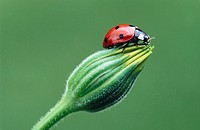 Ladybird (Coccinella septempunctata). Bavaria, Germany