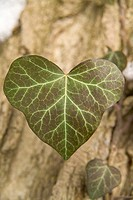 Ivy, Hedera spec, detail, leaves, fuzziness, nature, vegetation, botany, plant, climbing plant, supple-plant, ivy-leaves, outside,