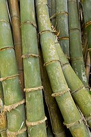 giant bamboo (dendrocalamus giganteus munro). bogor botanical garden. bogor city. west java. indonesia. asia.