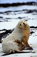 Australian sea-lion on beach at Kangaroo Island. The seals spend great lengths of time feeding in the Southern Ocean before returning to the beach. 20...
