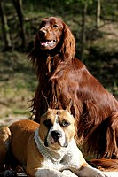 American Staffordshire Terrier and Irish Red Setter