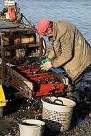 Fisherman grading mussels in tidal harbour, Norfolk, UK
