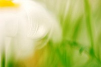 Marguerite, close-up