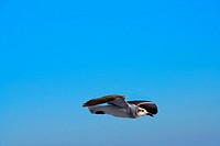 Seagull flying over the sky