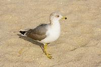Close-up of a seagull on the beach, Miami Beach, Florida, USA