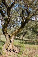 Olive tree, Olea europaea in autumn. Beaumes de Venise. Vaucluse. Provence. France