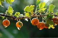 gooseberries on branch