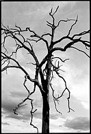 Dead tree against sky and clouds