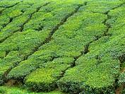 Tea estate. Scientific classification, Kingdom:Plantae. Division: Magnoliophyta. Class: Magnoliopsida. Order: Ericales. Family: Theaceae. Genus: Camel...