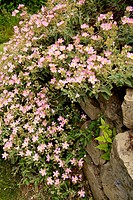 ´Grayswood Pink´ Rock Rose on stone wall [Cistus ´Grayswood Pink´ (´Barnsley Pink´)]. Wall, Lummi Is., WA.