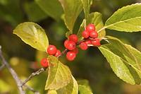 Common Winterberry fruit & foliage detail, autumn (Ilex verticillata). VanDusen, Vancouver, BC.
