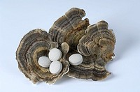 Many-zoned, Polypore, and, pills, Trametes, versicolor, cut, out, object,