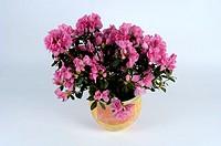 Azalea, Rhododendron, spec , Zimmerazalee, Rhododendron, spec