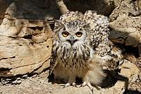 Bengal Eagle Owl (bubo bengalensis)