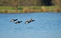 Tufted, Ducks, North, Rhine-Westphalia, Germany, Aythya, fuligula, side,
