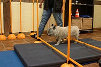 Cairn, Terrier, getting, physiotherapy,