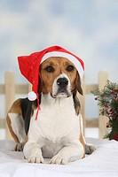 Beagle, with, christmas, cap,