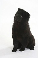 Eurasier, puppy, 14, weeks,