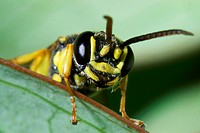 Silver, Spiny, Digger, Wasp, Oxybelus, argentatus, Common, Spiny, Digger, Wasp,