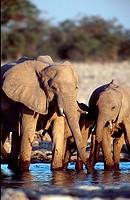 African, Elephants, cow, with, calf, at, waterhole, Etosha, national, park, Namibia, Loxodonta, africana