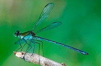 Damselfly, Heliocharis amazona, Dicteriadidae, Odonata, Luís Antônio. Sao Paulo. Brazil.