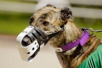 Greyhound dog racing at the Sarasota Kennel Club. Florida. USA