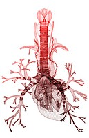 The heart and the respiratory system