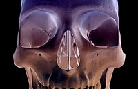 The bones of the face