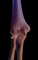 The bones of the elbow