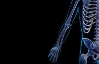 The bones of the upper limb