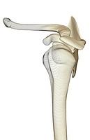 The pectorial girdle